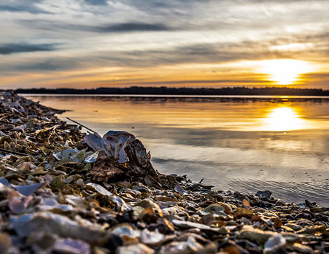 oysters along the bank of the may river in bluffton, south carolina