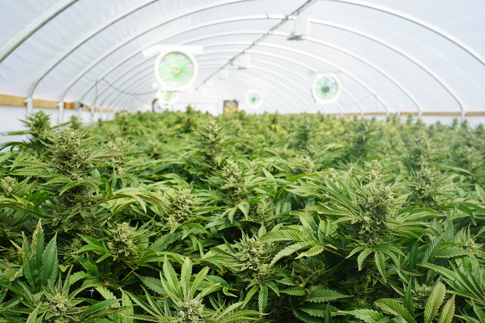 Large Indoor Marijuana Commercial Growing Operation With Fans, Greenhouse, Equipment For Growing High Quality Herb.